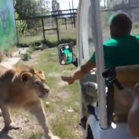 [VIDEO] ¡Temible! León ataca un Safari en Crimea y las imágenes de volvieron virales